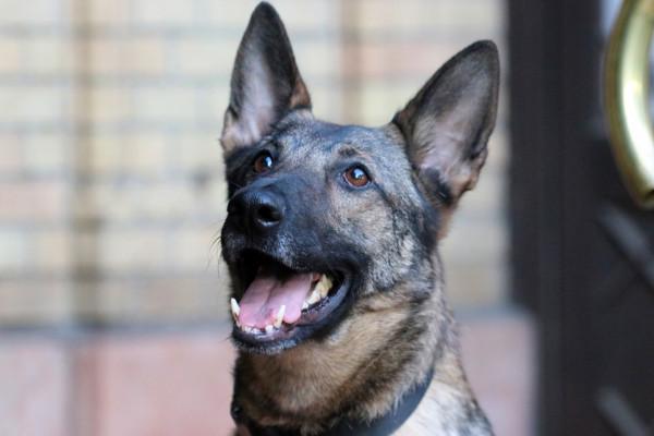 Ő Boni, a Mazsihisz robbanószerkereső kutyája