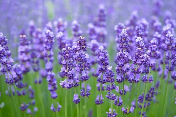Levendula nap és kertbemutató lesz a szegedi zsinagógában